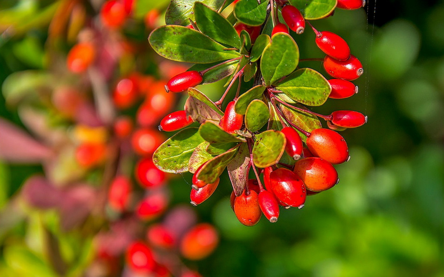 Барберри: растение, которое держит холестерин на расстоянии